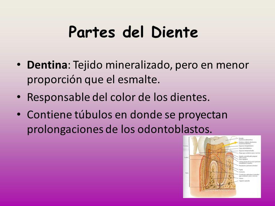 Partes del Diente Dentina: Tejido mineralizado, pero en menor proporción que el esmalte. Responsable del color de los dientes. Contiene túbulos en don