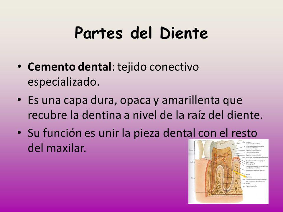 Partes del Diente Cemento dental: tejido conectivo especializado. Es una capa dura, opaca y amarillenta que recubre la dentina a nivel de la raíz del