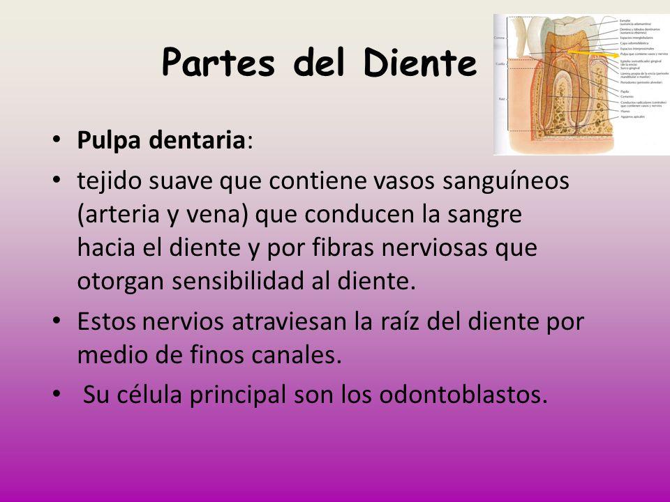 Partes del Diente Pulpa dentaria: tejido suave que contiene vasos sanguíneos (arteria y vena) que conducen la sangre hacia el diente y por fibras nerv