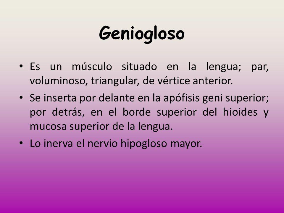 Geniogloso Es un músculo situado en la lengua; par, voluminoso, triangular, de vértice anterior. Se inserta por delante en la apófisis geni superior;