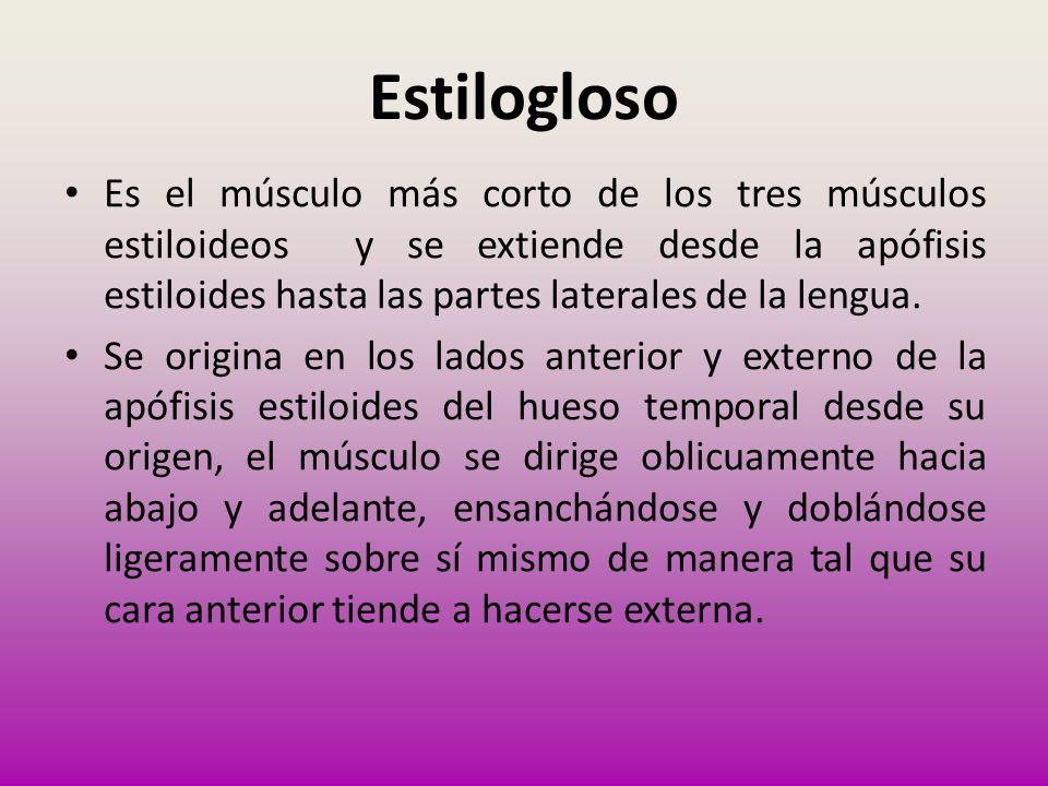Estilogloso Es el músculo más corto de los tres músculos estiloideos y se extiende desde la apófisis estiloides hasta las partes laterales de la lengu