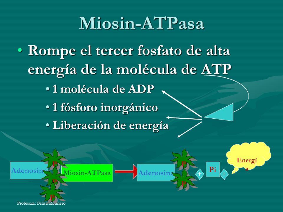 Miosin-ATPasa Rompe el tercer fosfato de alta energía de la molécula de ATPRompe el tercer fosfato de alta energía de la molécula de ATP 1 molécula de