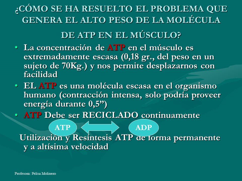 Profesora: Felisa Molinero ¿CÓMO SE HA RESUELTO EL PROBLEMA QUE GENERA EL ALTO PESO DE LA MOLÉCULA DE ATP EN EL MÚSCULO? La concentración de ATP en el