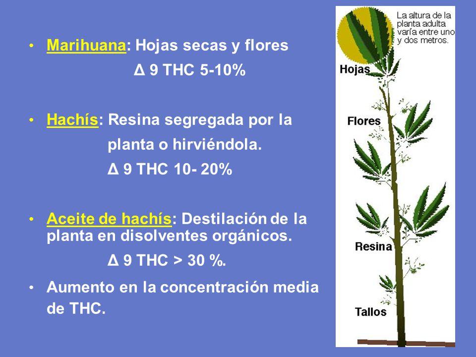 Marihuana: Hojas secas y flores Δ 9 THC 5-10% Hachís: Resina segregada por la planta o hirviéndola. Δ 9 THC 10- 20% Aceite de hachís: Destilación de l