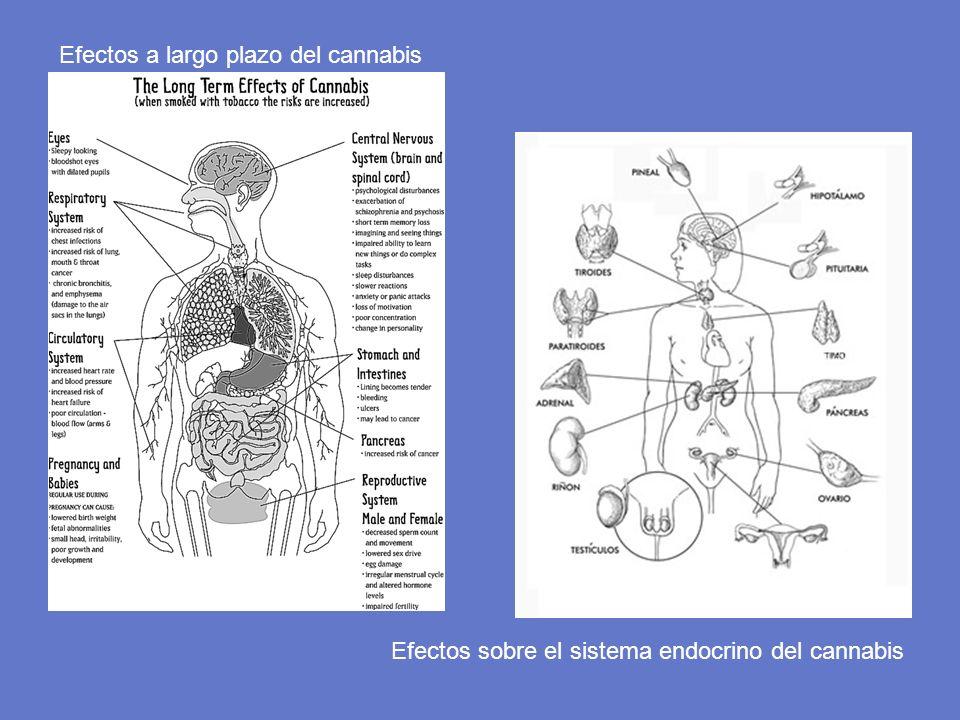 Efectos a largo plazo del cannabis Efectos sobre el sistema endocrino del cannabis