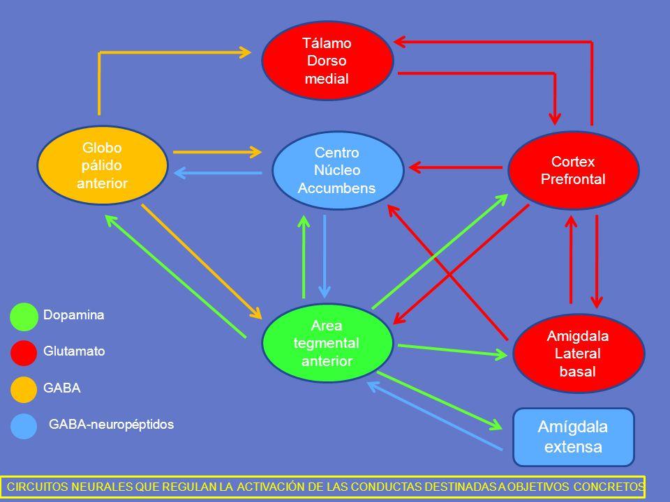 Tálamo Dorso medial Cortex Prefrontal Amigdala Lateral basal Globo pálido anterior Centro Núcleo Accumbens Area tegmental anterior Amígdala extensa Do