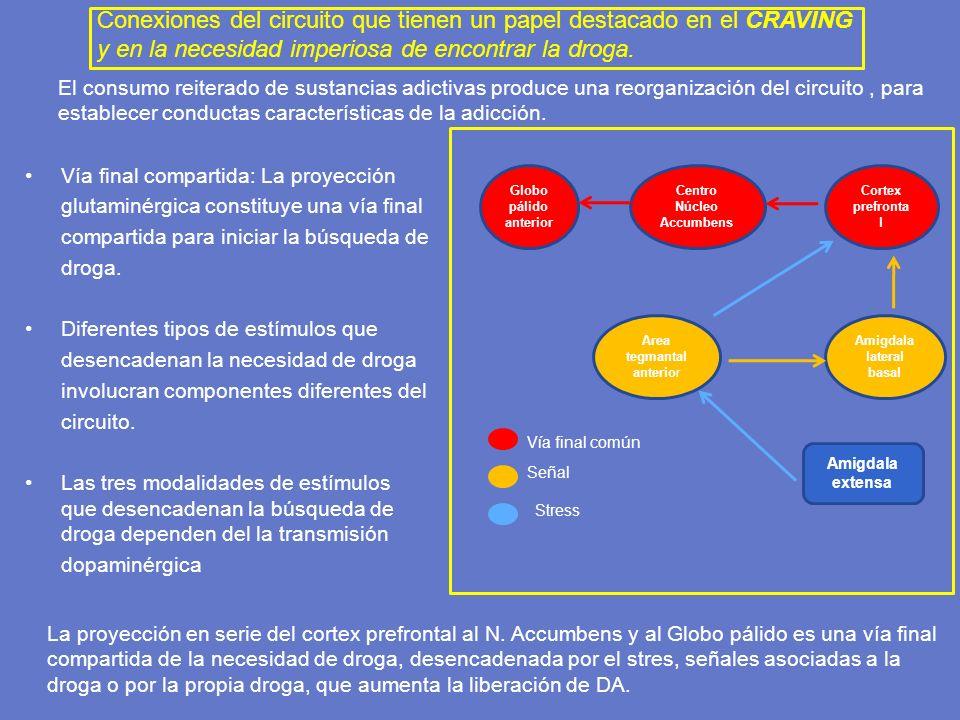 El consumo reiterado de sustancias adictivas produce una reorganización del circuito, para establecer conductas características de la adicción. Vía fi