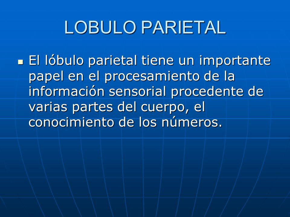 LOBULO PARIETAL El lóbulo parietal tiene un importante papel en el procesamiento de la información sensorial procedente de varias partes del cuerpo, e