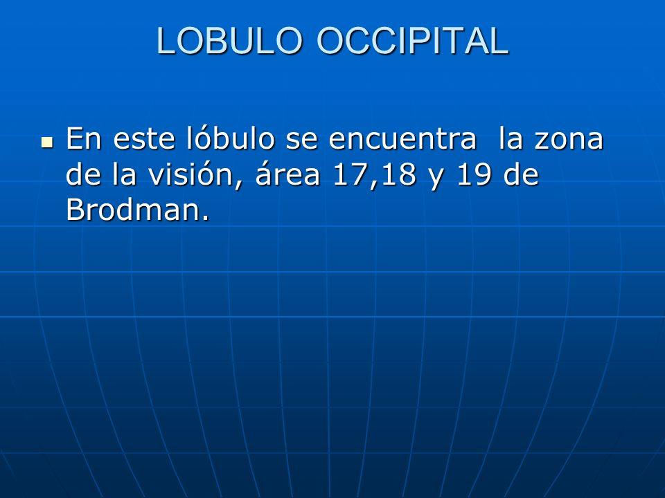 LOBULO OCCIPITAL En este lóbulo se encuentra la zona de la visión, área 17,18 y 19 de Brodman. En este lóbulo se encuentra la zona de la visión, área