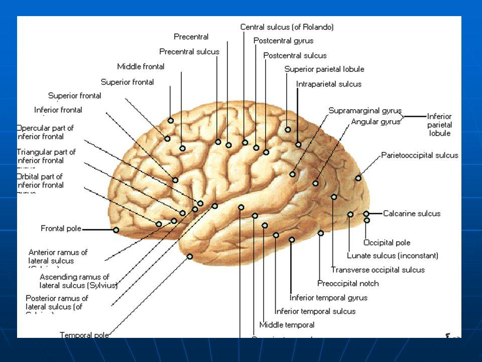 I par.Anosmia Unilateral. Anosmia Unilateral. Tumores de la cara inferior del lóbulo frontal.