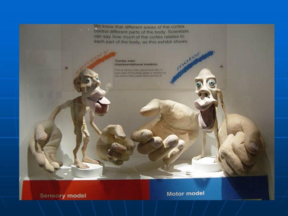 LOBULO FRONTAL El lóbulo frontal se relaciona con el control de los impulsos, el juicio, la producción del lenguaje, la memoria funcional (de trabajo, de corto plazo), funciones motoras( área 4 y 6 de Brodman), comportamiento sexual, socialización y espontaneidad.