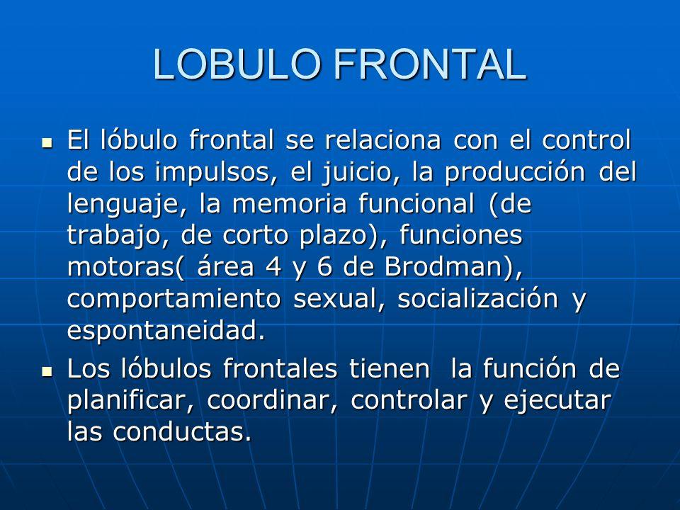 LOBULO FRONTAL El lóbulo frontal se relaciona con el control de los impulsos, el juicio, la producción del lenguaje, la memoria funcional (de trabajo,