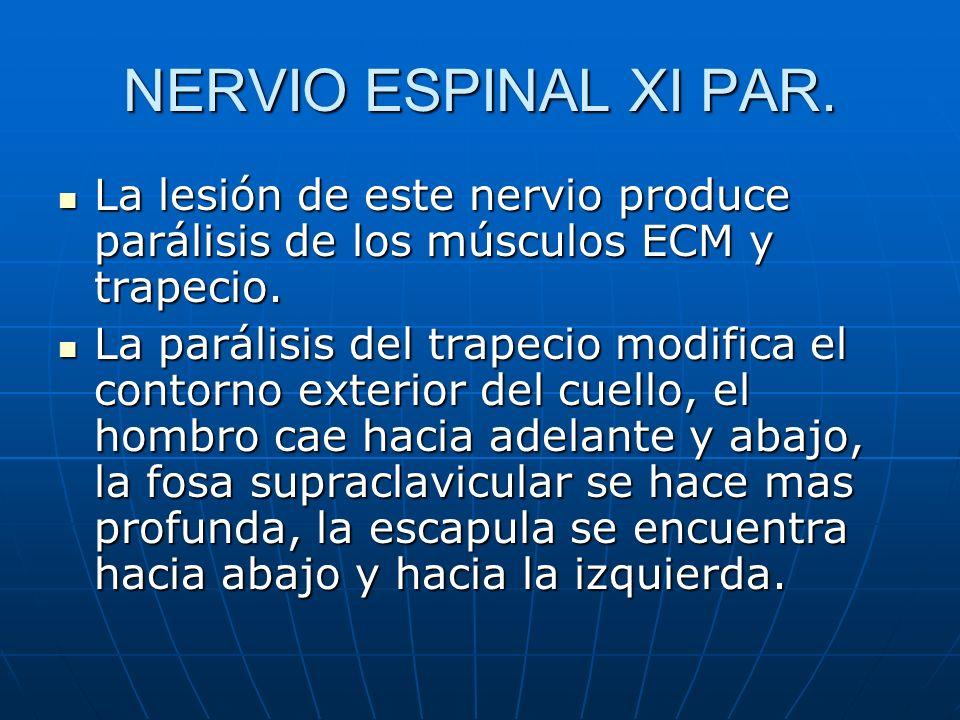NERVIO ESPINAL XI PAR. La lesión de este nervio produce parálisis de los músculos ECM y trapecio. La lesión de este nervio produce parálisis de los mú