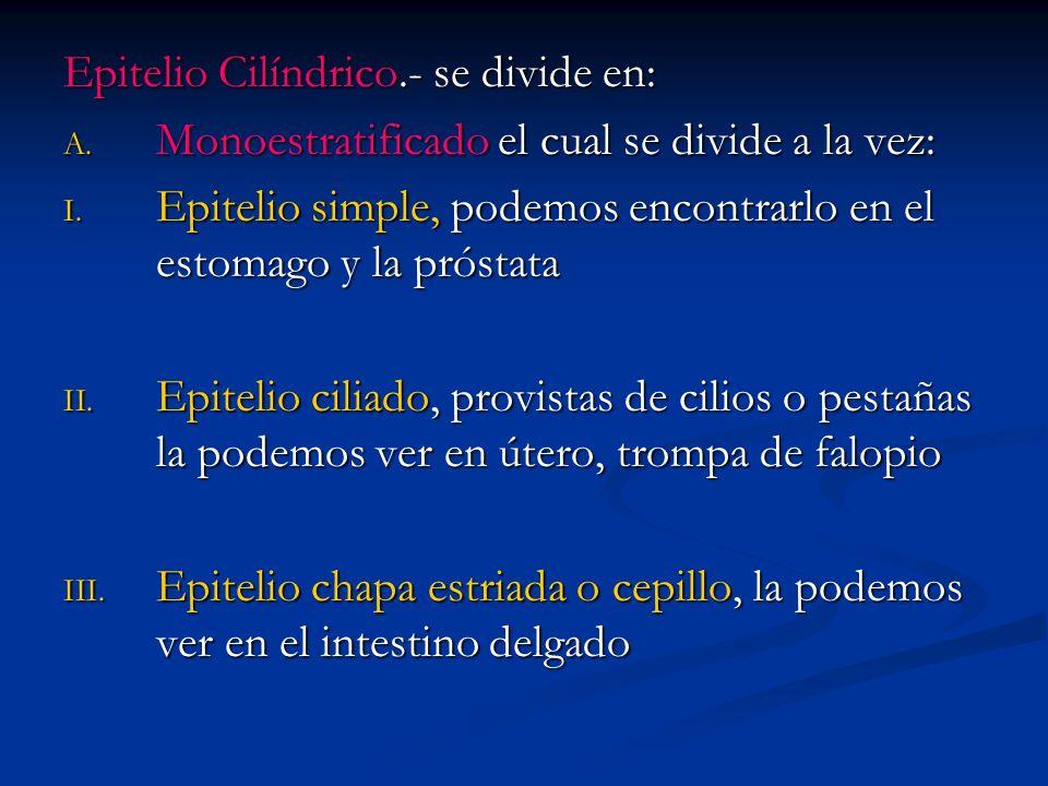 Epitelio Cilíndrico.- se divide en: A. Monoestratificado el cual se divide a la vez: I. Epitelio simple, podemos encontrarlo en el estomago y la próst