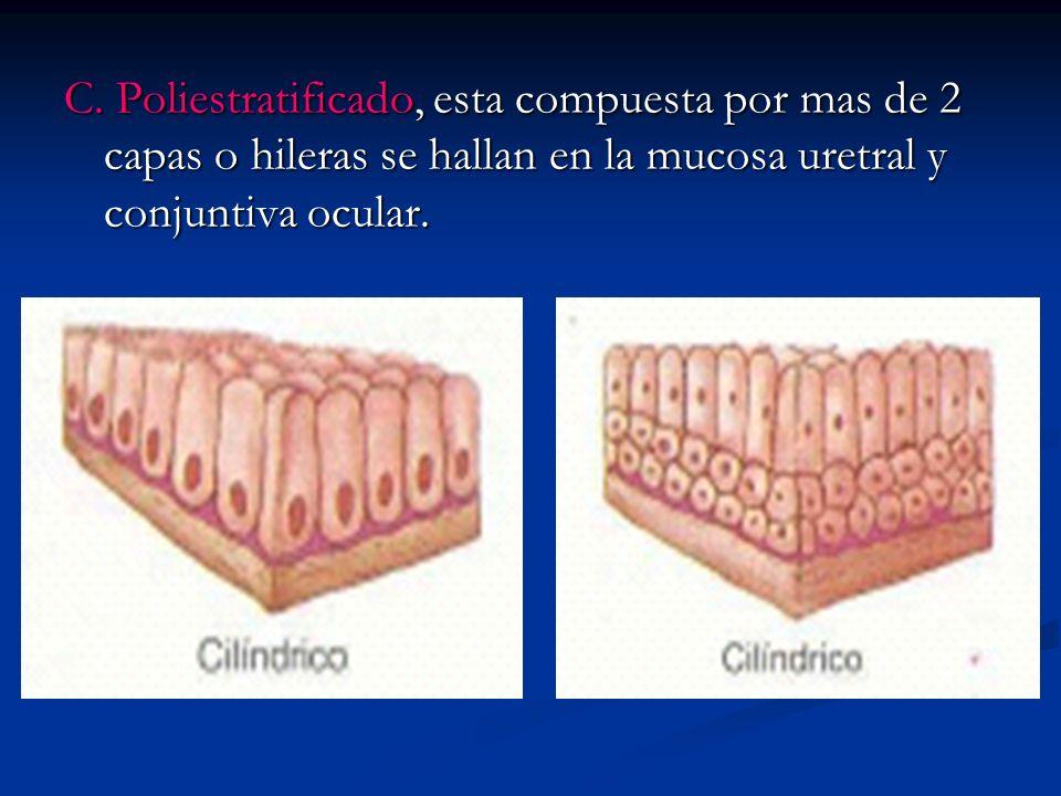 C. Poliestratificado, esta compuesta por mas de 2 capas o hileras se hallan en la mucosa uretral y conjuntiva ocular.