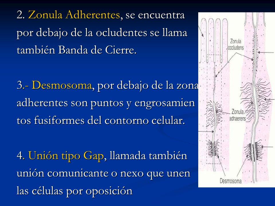 2. Zonula Adherentes, se encuentra por debajo de la ocludentes se llama también Banda de Cierre. 3.- Desmosoma, por debajo de la zona adherentes son p