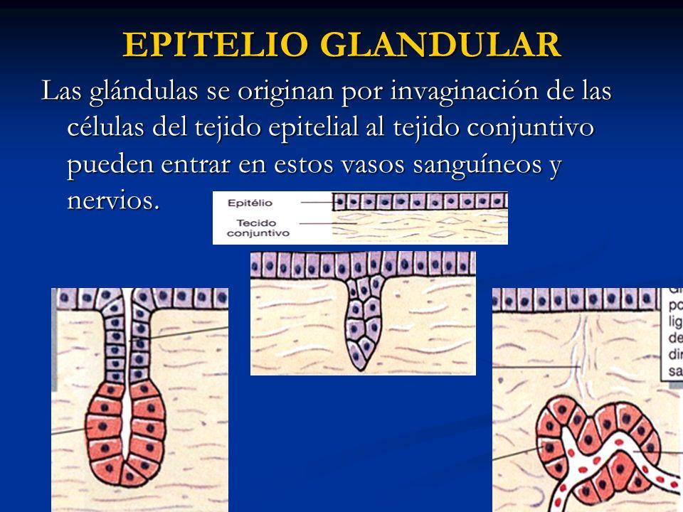EPITELIO GLANDULAR Las glándulas se originan por invaginación de las células del tejido epitelial al tejido conjuntivo pueden entrar en estos vasos sa
