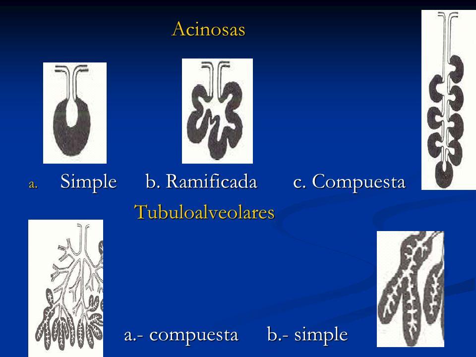 Acinosas a. Simple b. Ramificada c. Compuesta Tubuloalveolares Tubuloalveolares a.- compuestab.- simple