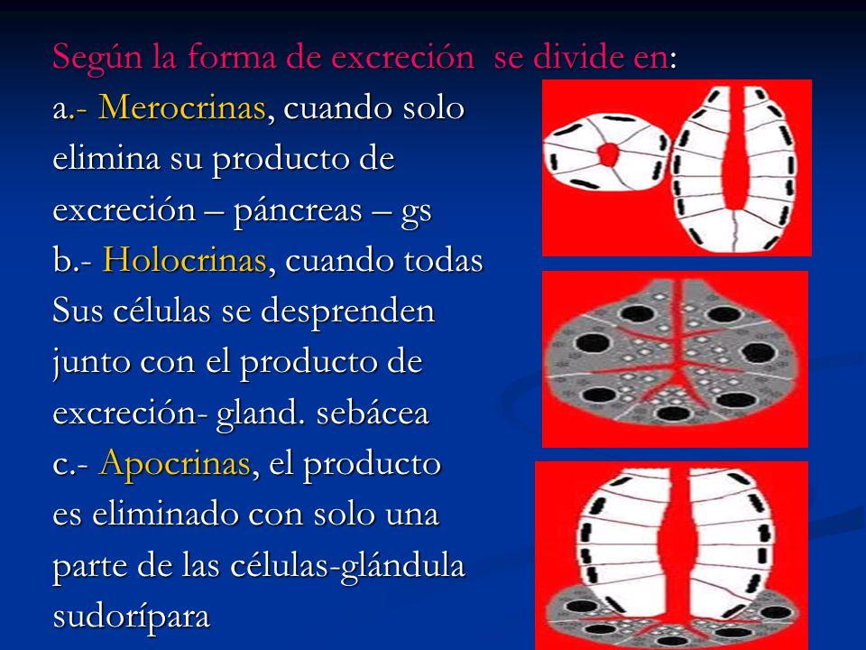 Según la forma de excreción se divide en: a.- Merocrinas, cuando solo elimina su producto de excreción – páncreas – gs b.- Holocrinas, cuando todas Su