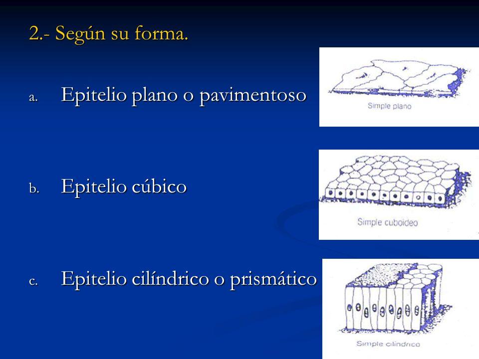 2.- Según su forma. a. Epitelio plano o pavimentoso b. Epitelio cúbico c. Epitelio cilíndrico o prismático