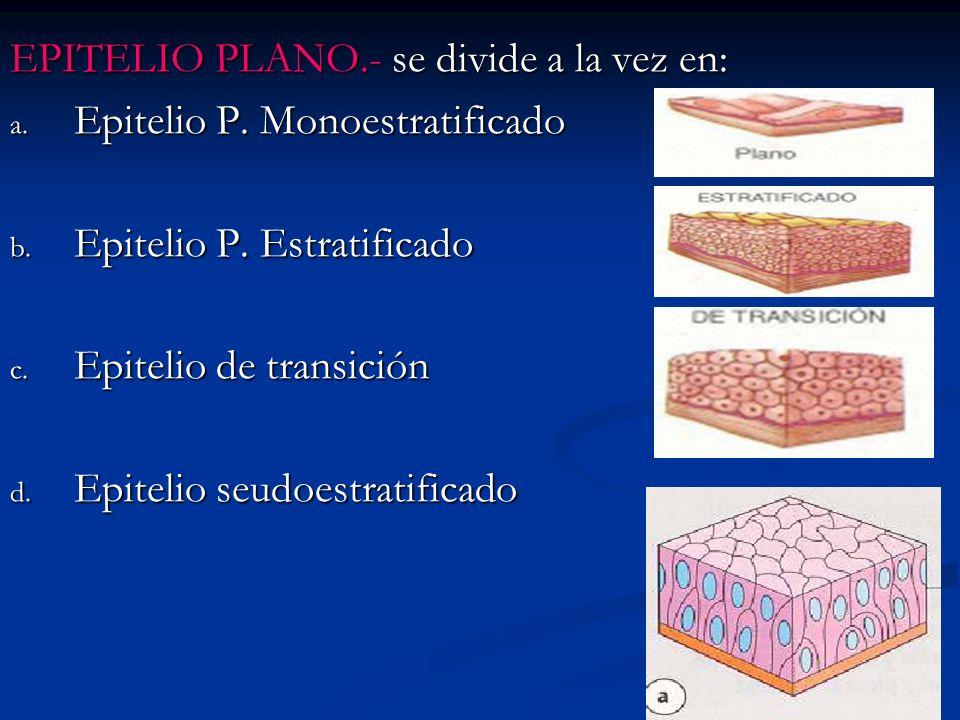 EPITELIO PLANO.- se divide a la vez en: a. Epitelio P. Monoestratificado b. Epitelio P. Estratificado c. Epitelio de transición d. Epitelio seudoestra
