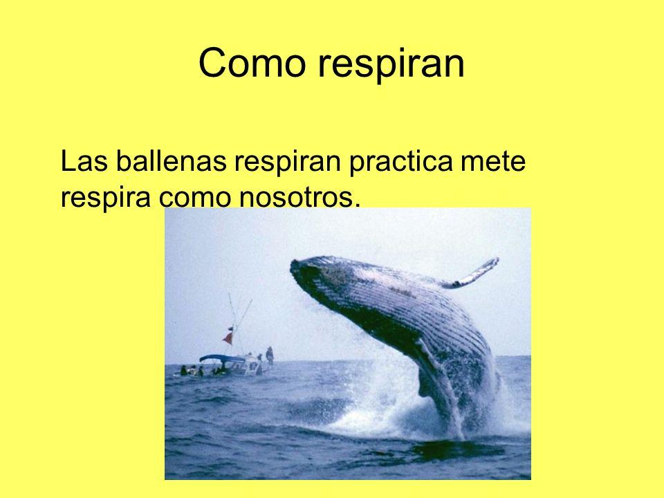 Como respiran Las ballenas respiran practica mete respira como nosotros.
