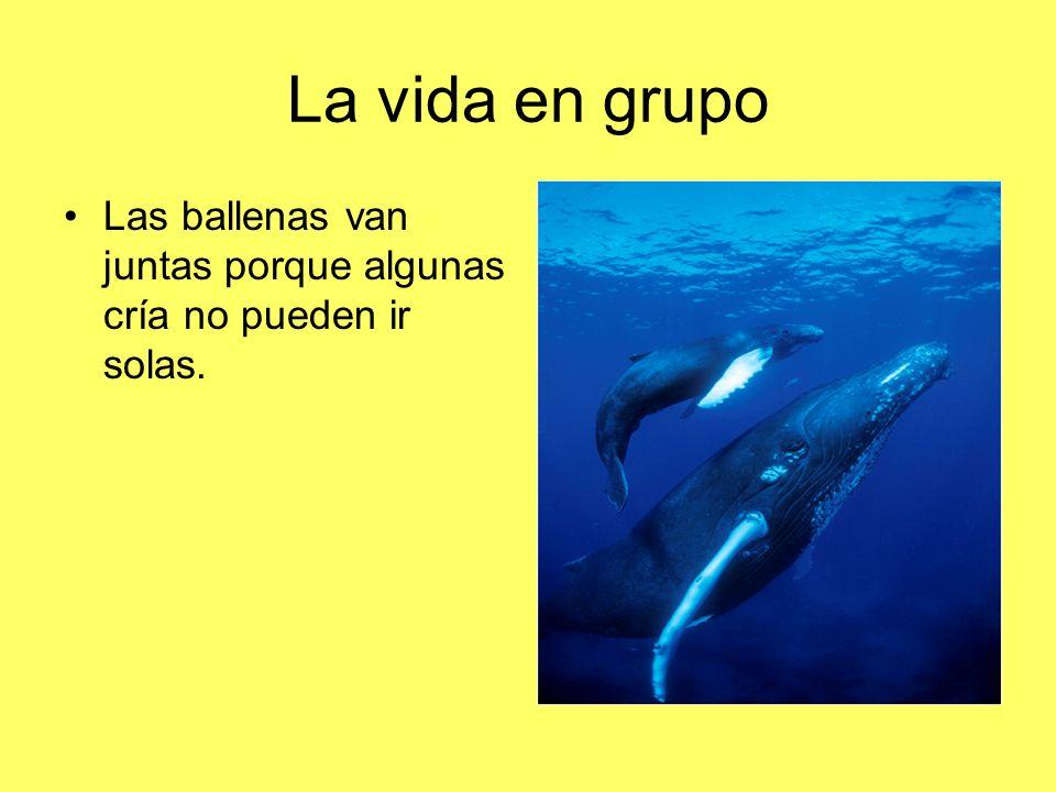 La vida en grupo Las ballenas van juntas porque algunas cría no pueden ir solas.