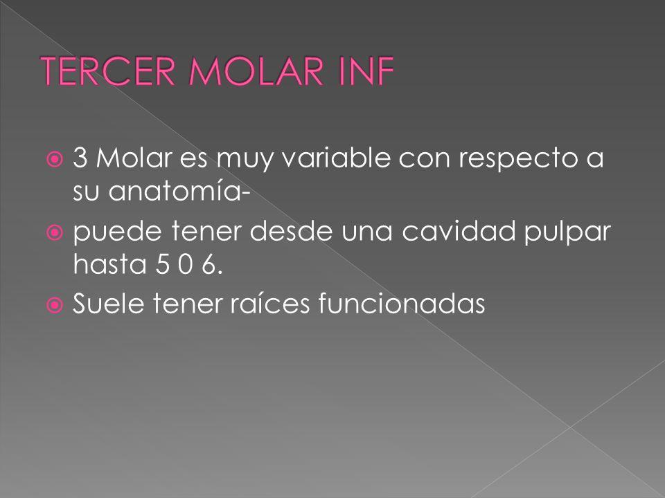 3 Molar es muy variable con respecto a su anatomía- puede tener desde una cavidad pulpar hasta 5 0 6. Suele tener raíces funcionadas