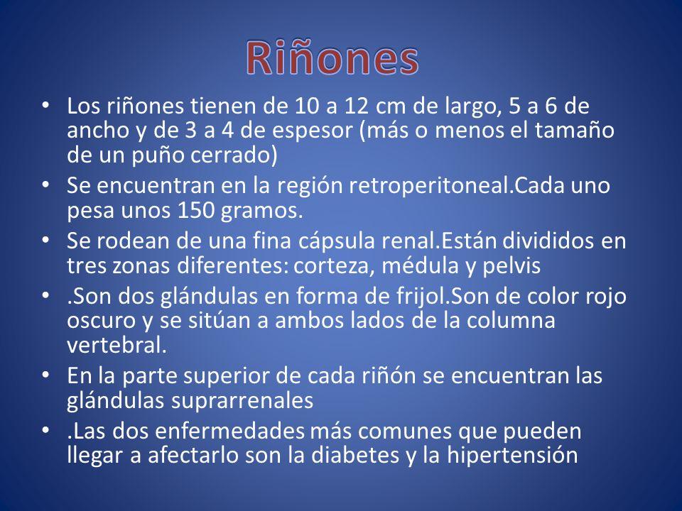 Los riñones tienen de 10 a 12 cm de largo, 5 a 6 de ancho y de 3 a 4 de espesor (más o menos el tamaño de un puño cerrado) Se encuentran en la región