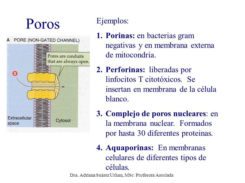 Poros Ejemplos: 1.Porinas: en bacterias gram negativas y en membrana externa de mitocondria. 2.Perforinas: liberadas por linfocitos T citotóxicos. Se
