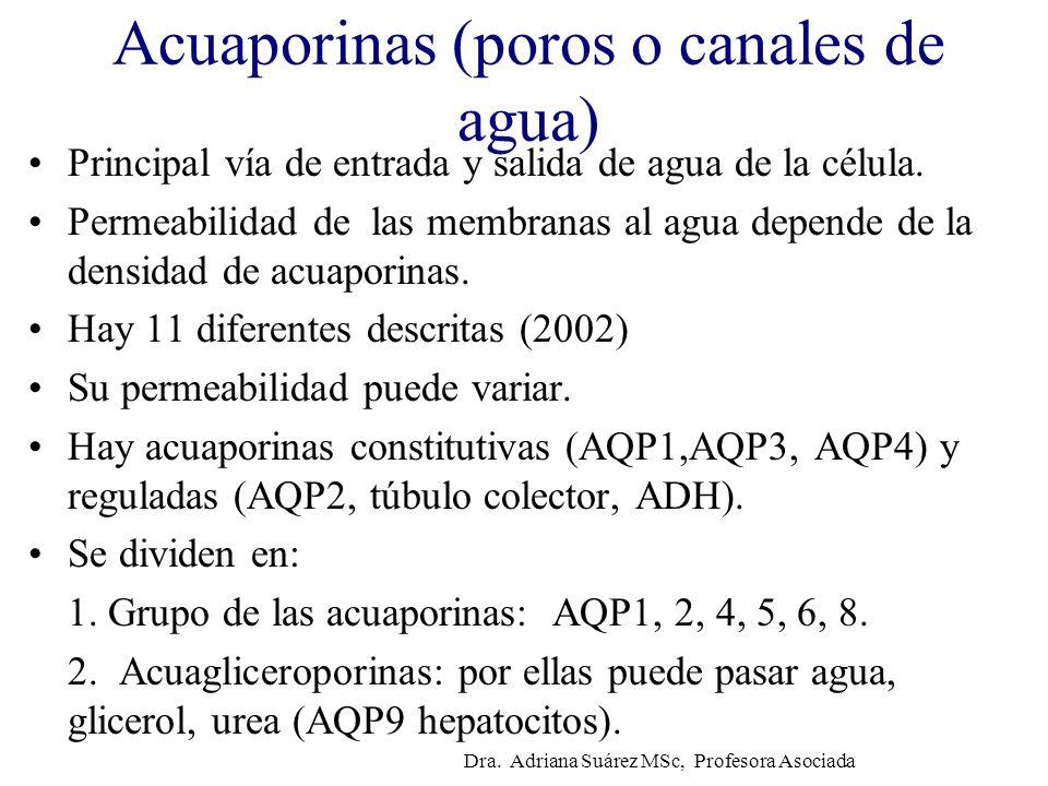 Acuaporinas (poros o canales de agua) Principal vía de entrada y salida de agua de la célula. Permeabilidad de las membranas al agua depende de la den