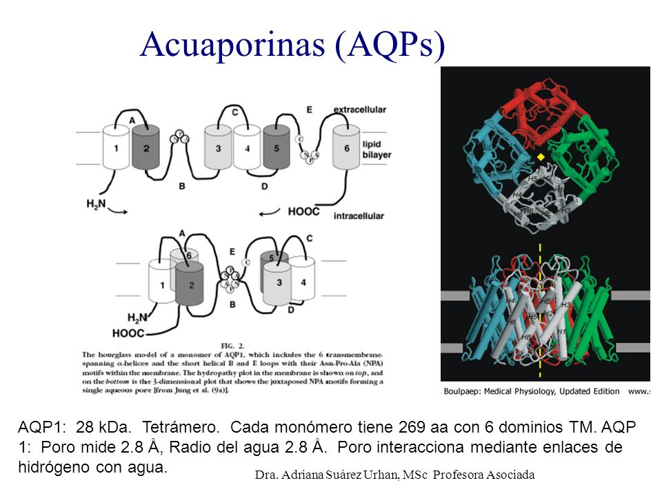 Acuaporinas (AQPs) AQP1: 28 kDa. Tetrámero. Cada monómero tiene 269 aa con 6 dominios TM. AQP 1: Poro mide 2.8 Å, Radio del agua 2.8 Å. Poro interacci