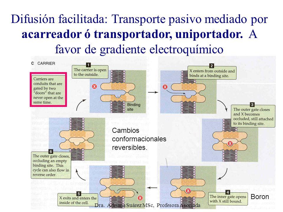 Difusión facilitada: Transporte pasivo mediado por acarreador ó transportador, uniportador. A favor de gradiente electroquímico Cambios conformacional