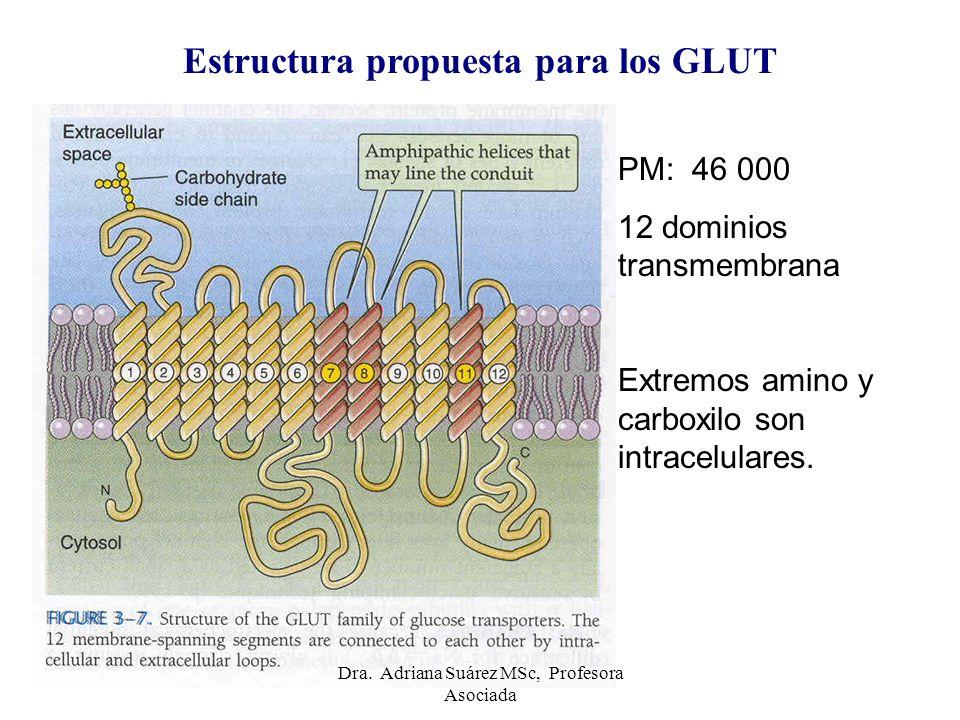 Estructura propuesta para los GLUT PM: 46 000 12 dominios transmembrana Extremos amino y carboxilo son intracelulares. Dra. Adriana Suárez MSc, Profes