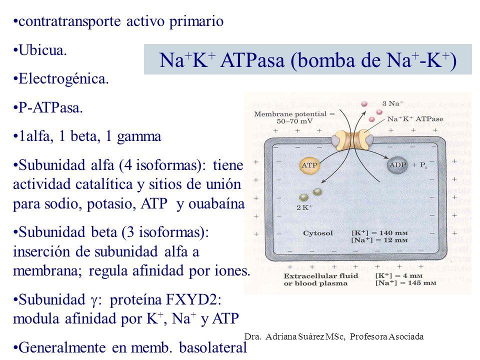 Na + K + ATPasa (bomba de Na + -K + ) contratransporte activo primario Ubicua. Electrogénica. P-ATPasa. 1alfa, 1 beta, 1 gamma Subunidad alfa (4 isofo