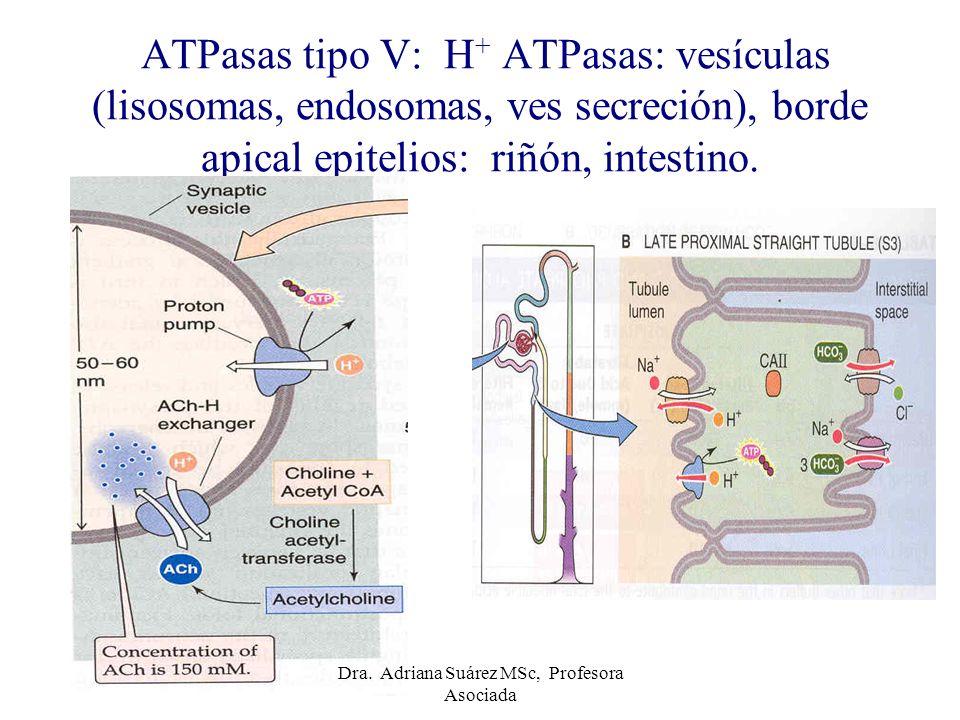 ATPasas tipo V: H + ATPasas: vesículas (lisosomas, endosomas, ves secreción), borde apical epitelios: riñón, intestino. Dra. Adriana Suárez MSc, Profe