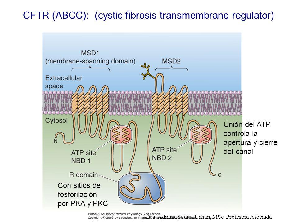CFTR (ABCC): (cystic fibrosis transmembrane regulator) Con sitios de fosforilación por PKA y PKC Unión del ATP controla la apertura y cierre del canal