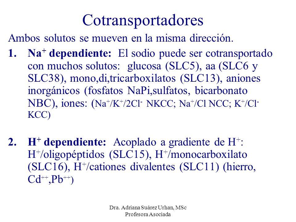 Cotransportadores Ambos solutos se mueven en la misma dirección. 1.Na + dependiente: El sodio puede ser cotransportado con muchos solutos: glucosa (SL