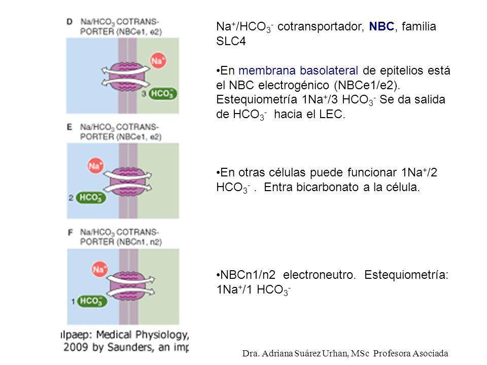 Na + /HCO 3 - cotransportador, NBC, familia SLC4 En membrana basolateral de epitelios está el NBC electrogénico (NBCe1/e2). Estequiometría 1Na + /3 HC