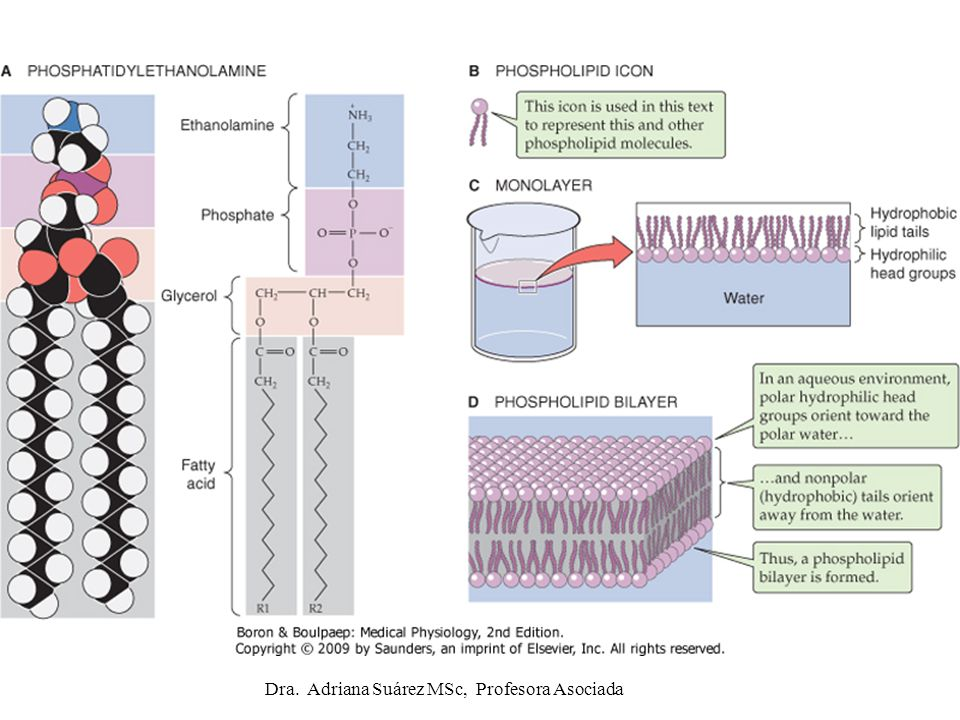 ADH y acuaporinas (AQP2) en membrana apical del epitelio del túbulo colector Dra.