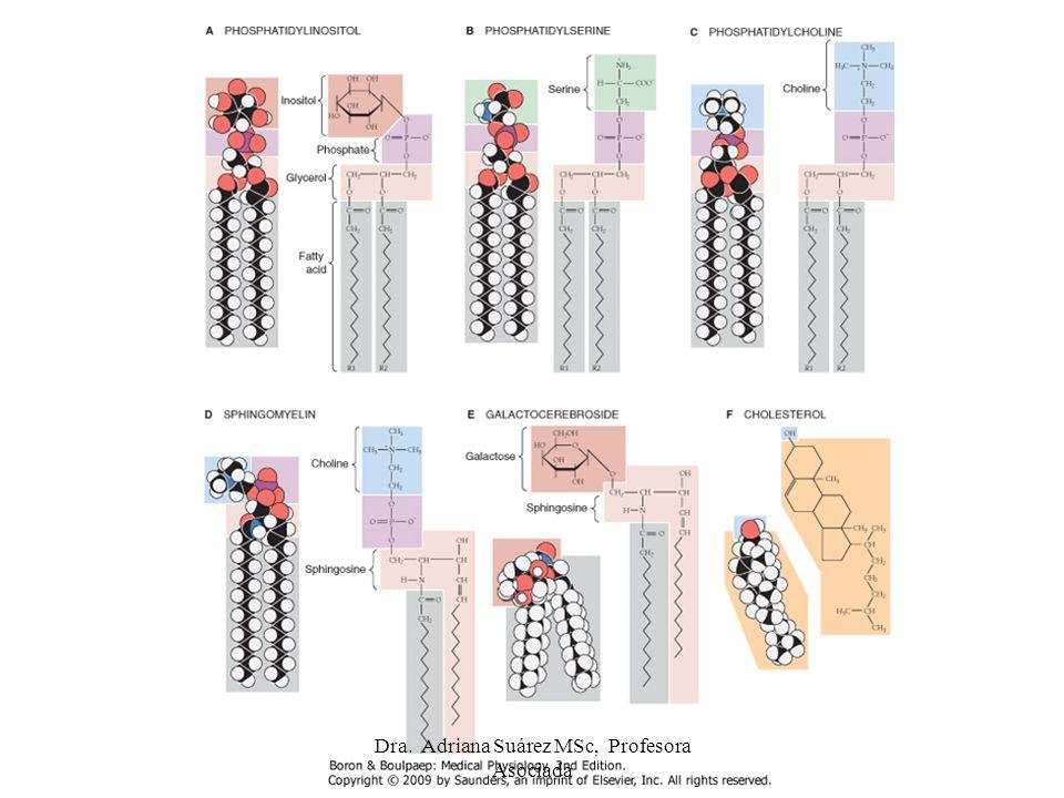 Comparación entre poros, canales y acarreadores Acarreadores, canales y poros tienen estructura física similar: tienen dominios transmembrana que rodean zona por donde pasa el soluto.
