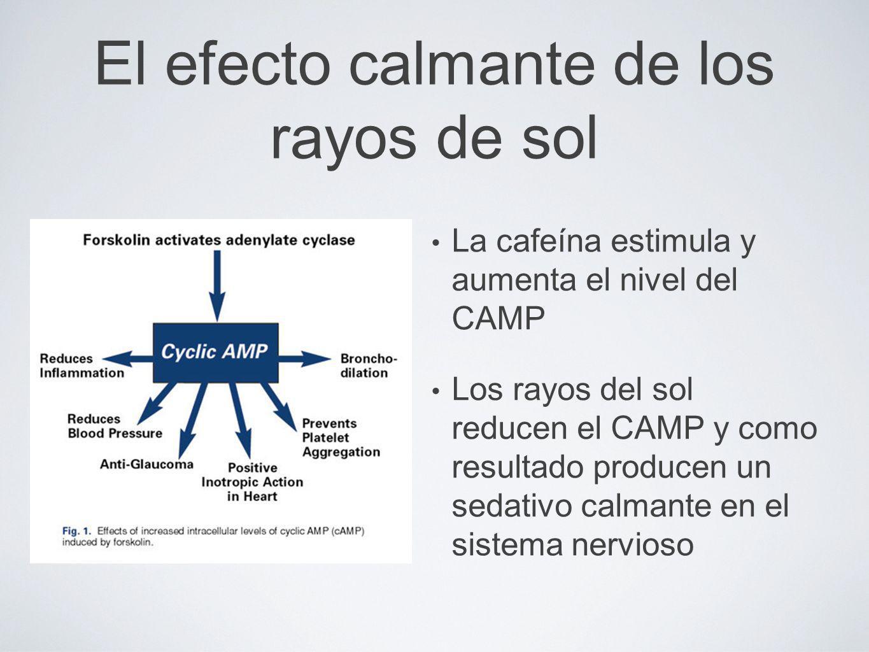 El efecto calmante de los rayos de sol La cafeína estimula y aumenta el nivel del CAMP Los rayos del sol reducen el CAMP y como resultado producen un