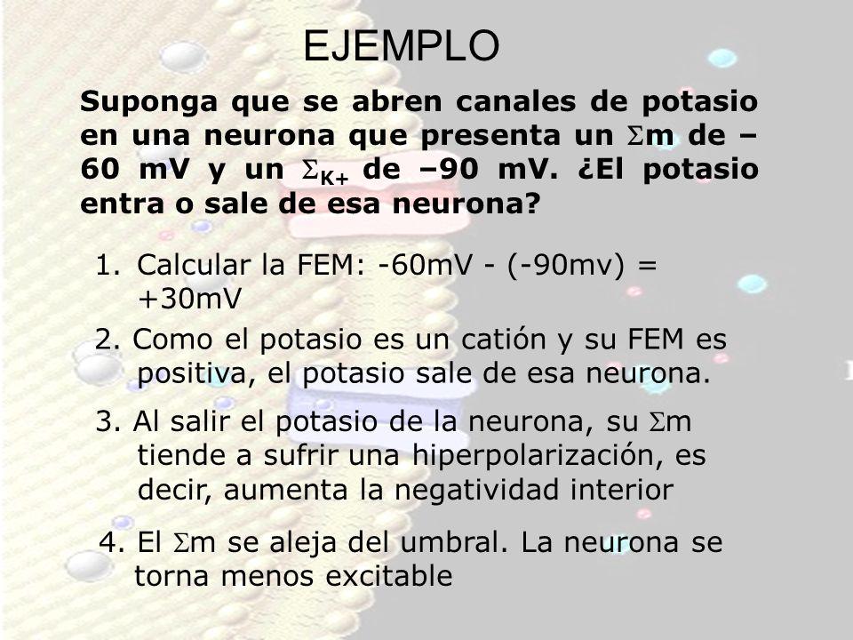 EJEMPLO Suponga que se abren canales de potasio en una neurona que presenta un m de – 60 mV y un K+ de –90 mV. ¿El potasio entra o sale de esa neurona