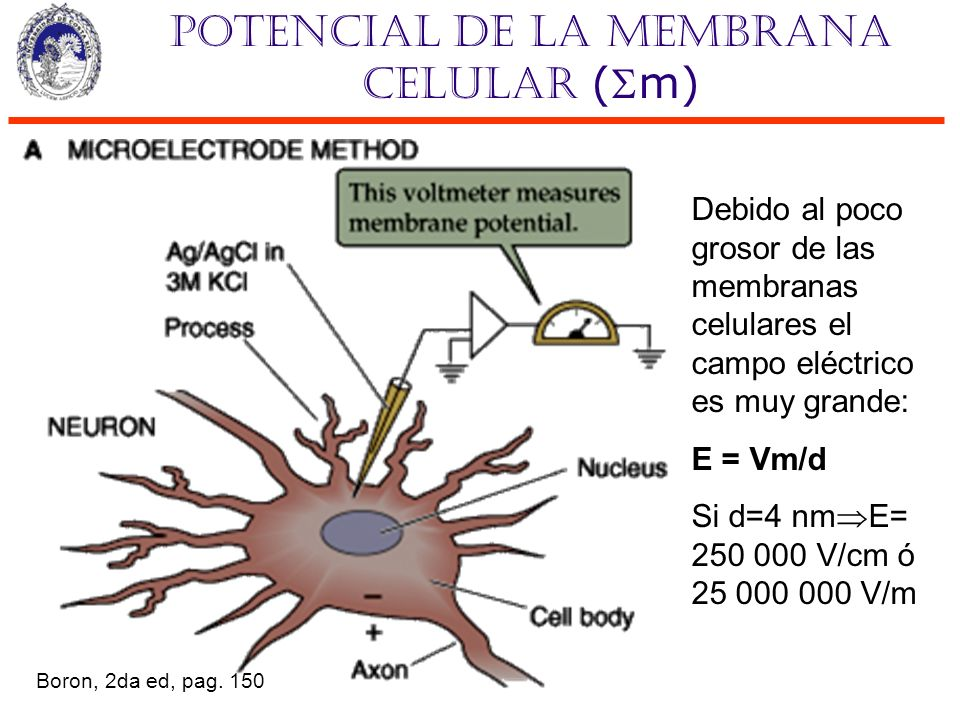 Potencial de la membrana celular (m) Debido al poco grosor de las membranas celulares el campo eléctrico es muy grande: E = Vm/d Si d=4 nm E= 250 000