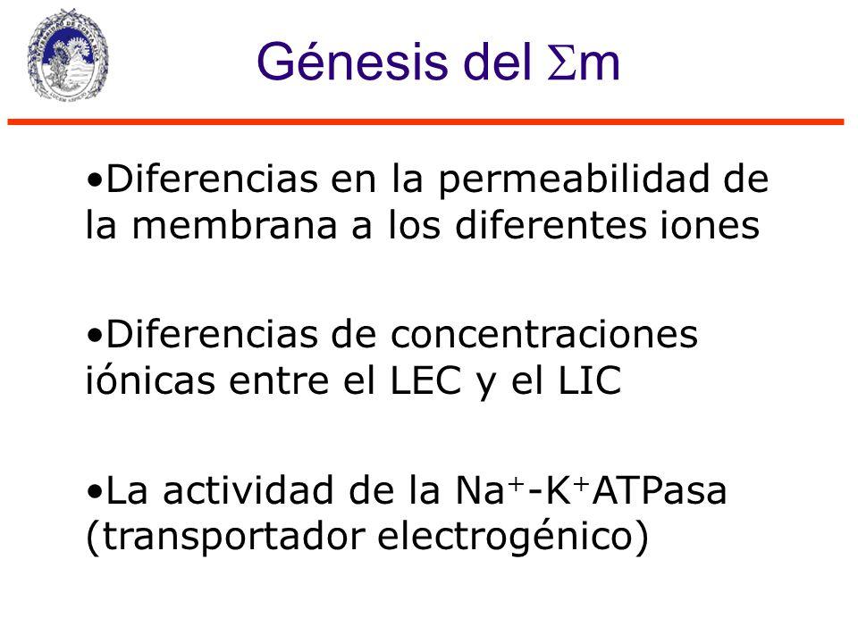Los iones se mueven de acuerdo con la fuerza de desplazamiento o electromotriz (FEM) FEM: Potencial de membrana de la célula ( m ) – Potencial de equilibrio electroquímico del ión ( ion ) ion = 61.5/z * log [ion] e /[ion] i Interpretación: un catión sale de la célula siempre que la FEM sea positiva y por el contrario, si la FEM es negativa, el catión entra.