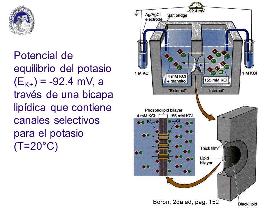 Potencial de equilibrio del potasio (E K+ ) = -92.4 mV, a través de una bicapa lipídica que contiene canales selectivos para el potasio (T=20°C) Boron