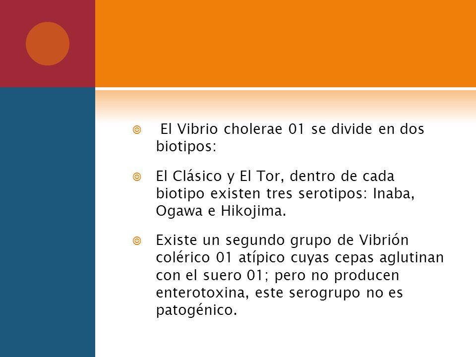 El Vibrio cholerae 01 se divide en dos biotipos: El Clásico y El Tor, dentro de cada biotipo existen tres serotipos: Inaba, Ogawa e Hikojima. Existe u