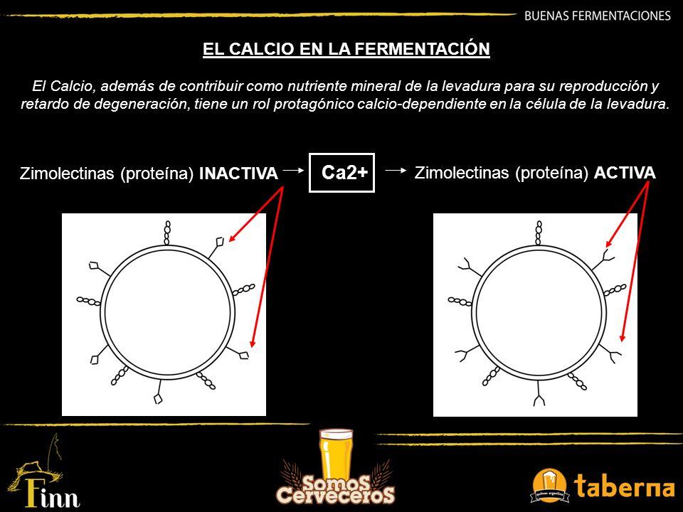 El Calcio, además de contribuir como nutriente mineral de la levadura para su reproducción y retardo de degeneración, tiene un rol protagónico calcio-