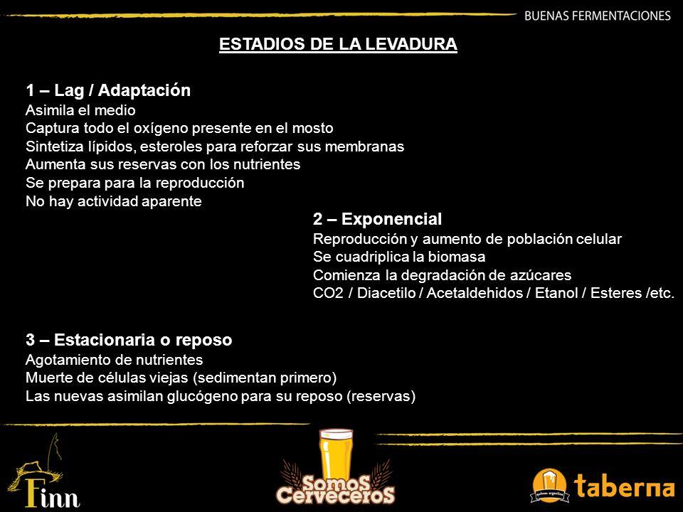ESTADIOS DE LA LEVADURA 1 – Lag / Adaptación Asimila el medio Captura todo el oxígeno presente en el mosto Sintetiza lípidos, esteroles para reforzar