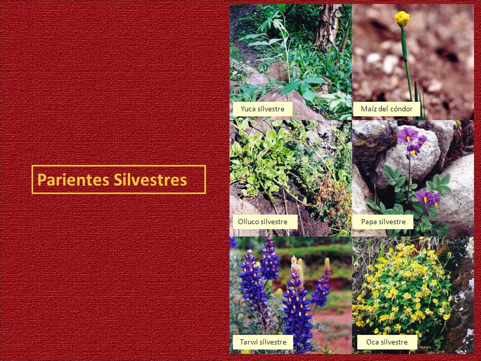 Parientes Silvestres Yuca silvestreMaíz del cóndor Olluco silvestrePapa silvestre Tarwi silvestreOca silvestre